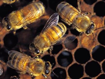 abejas 1