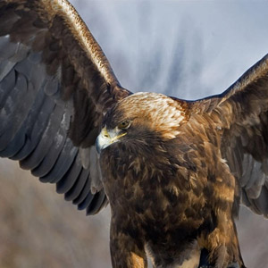 aguila real 1