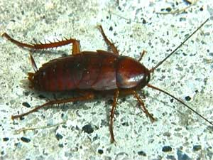 cucaracha comun 1