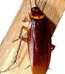cucaracha comun