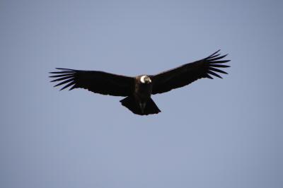 Condor3
