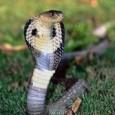 cobra real 1