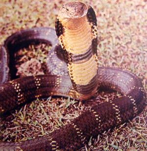 cobra real 2