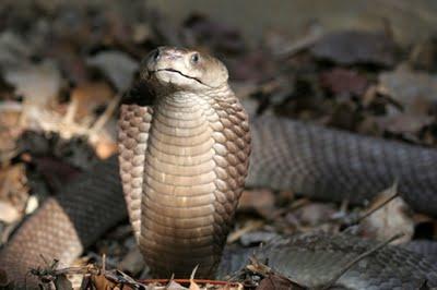 cobra real 3