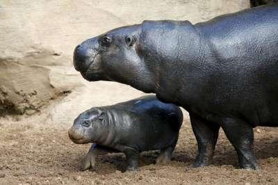 hipopotamo comun 3