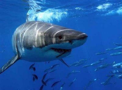 tiburon blanco 3