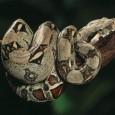 boa constrictora 1