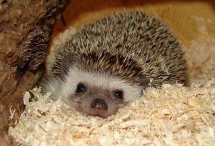 Informaci n sobre el erizo informacion sobre animales for Que comen los erizos