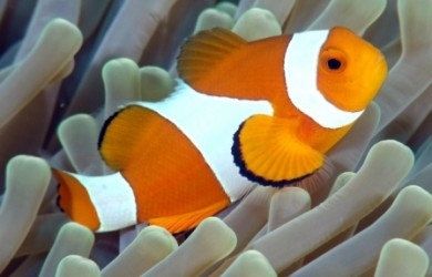 pez payaso1