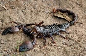 escorpion2