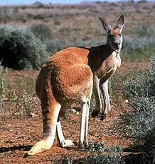 canguro rojo 1