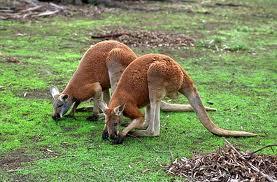 canguro rojo 3