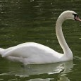 cisne vulgar 1