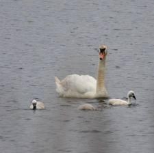 cisne vulgar 3