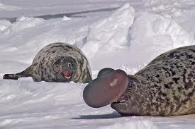foca de casco 1