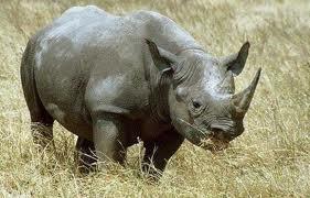 rinoceronte de java 2