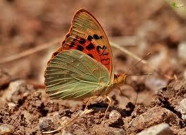 Mariposa Pandoriana 1