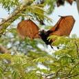 Murciélago Zorro Volador Filipino 1