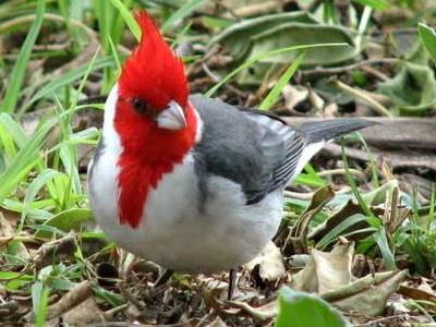 cardenal 3