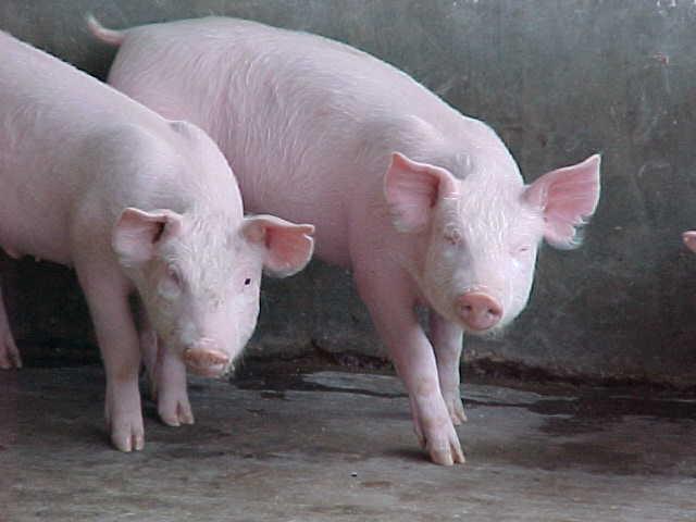 cerdo 3