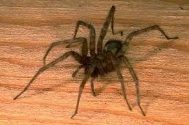 Araña Común 3