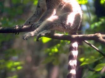 Lémur de Cola Anillada 1
