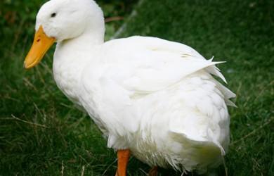 Pato Doméstico 1