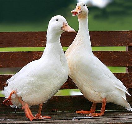 Informaci n sobre el pato dom stico informacion sobre for Imagenes de estanques para patos
