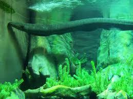 anguila eléctrica 2