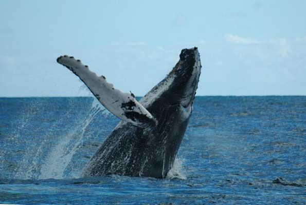 ballena jorobada 2