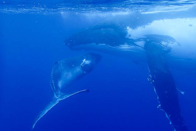 ballena jorobada 3