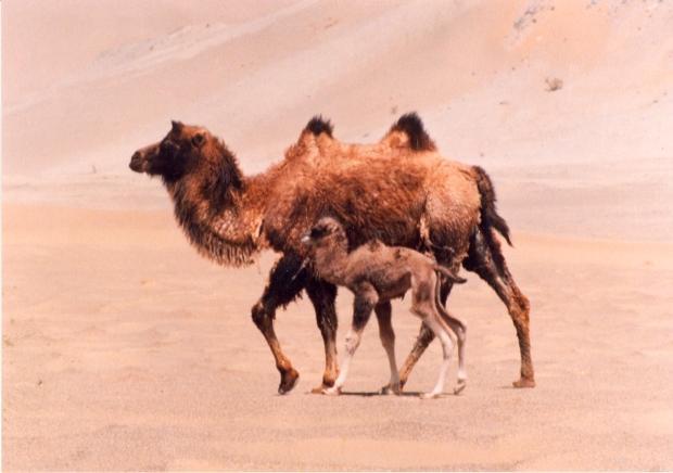 camello bactriano 3