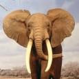 elefante africano del bosque 1