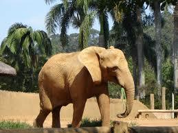 elefante africano del bosque 2