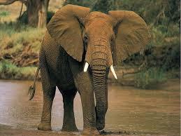 elefante africano del bosque 3