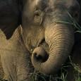 elefante asiático 1