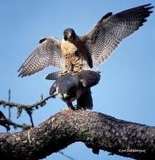 halcon peregrino 3