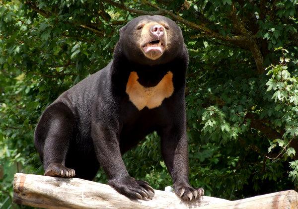 oso dom solitario 2