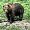 oso pardo europeo 1