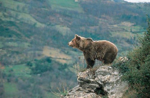 oso pardo europeo 2