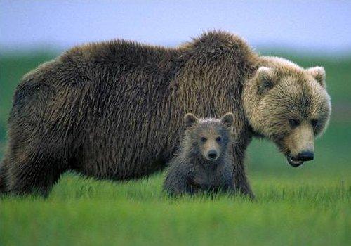 oso pardo europeo 3