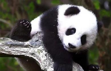panda gigante 1