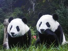 panda gigante 3