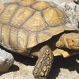 tortuga de espolones 1