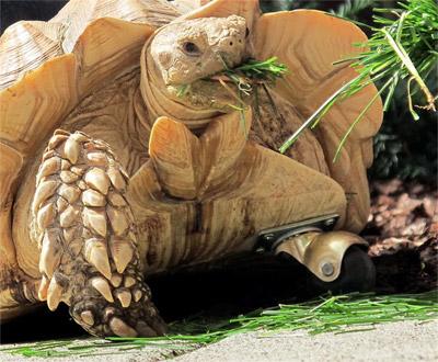 tortuga de espolones 3