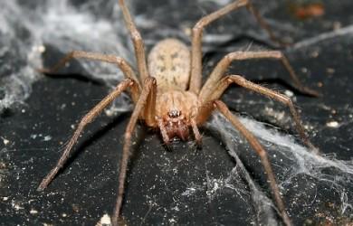 Araña Común 2