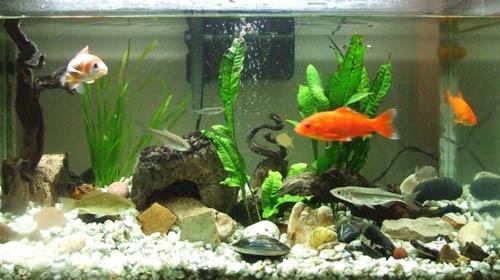 Informaci n sobre los peces domesticos informacion sobre - Peceras pequenas decoradas ...