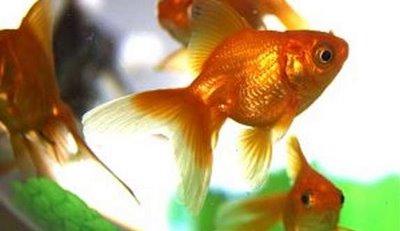 informaci n sobre los peces domesticos informacion sobre