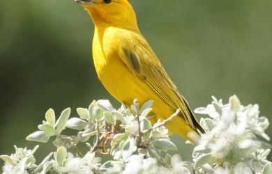 Informacion sobre el canario