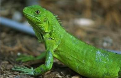 Informacion sobre la iguana